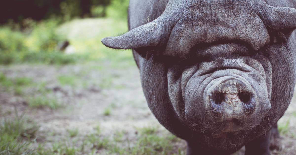 Clarence J. Weinkauff Grant Fund awards 20th Annual Swine Grant