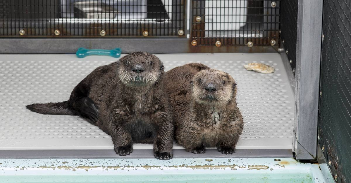 TWO RESCUED SEA OTTER PUPS FIND OPEN ARMS AT SHEDD AQUARIUM