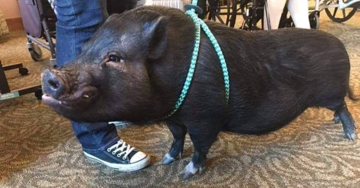 A Journey Senior Living of Merrillville Employee Spotlight: Schnitzel the Pig