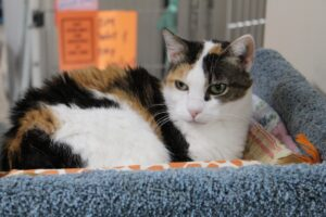 Orange, white and black cat