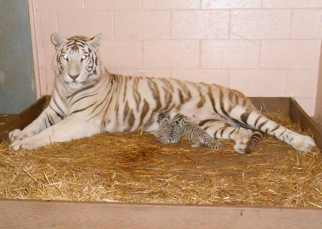 2014-washington-park-zoo-white-tiger-cubs