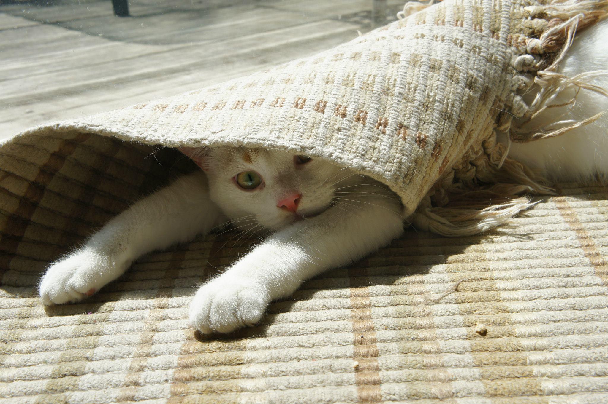 cat-in-rug