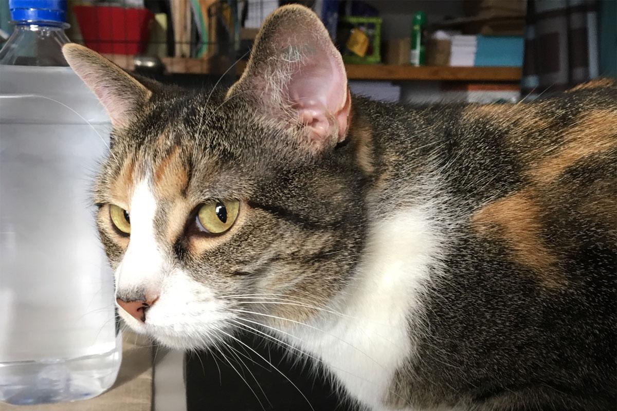 DeeDee-the-Cat-Porter-County-Animal-Shelter