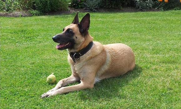 Dog-Shepherd