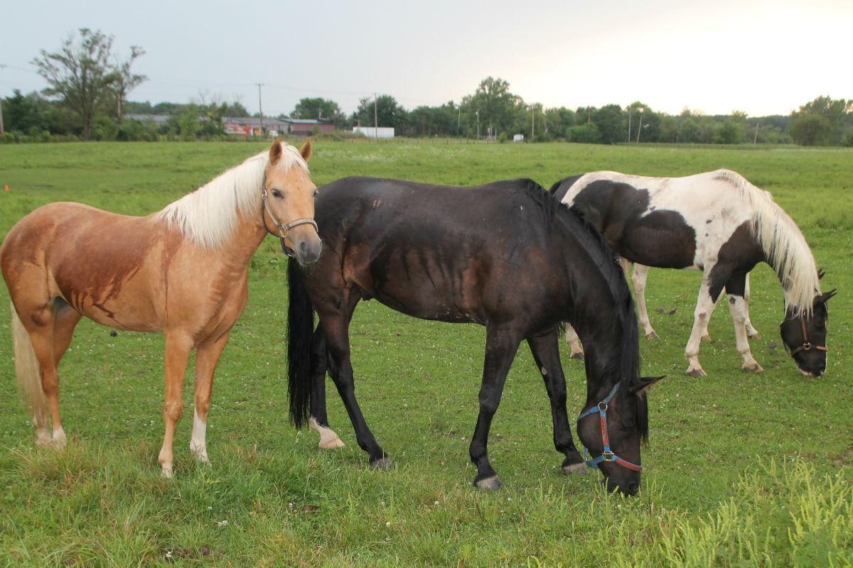 shilo-horses