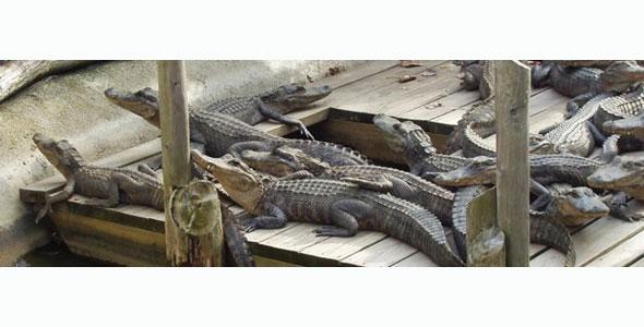 Zao-Island-Alligators